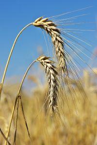 Geneticky modifikovaných potravín sa báť netreba