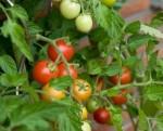 Najvyšší čas siať balkónové paradajky