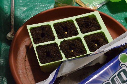 semena papriky v substrátu